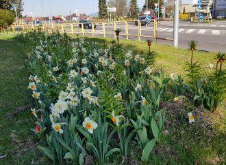 V Liptovskom Mikuláši rozkvitli kvetinové záhony