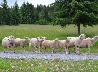 Strihanie oviec aj ukážky spracovania vlny. Aj to uvidíte na podujatí Ovečka, ovečka trojaký účinok