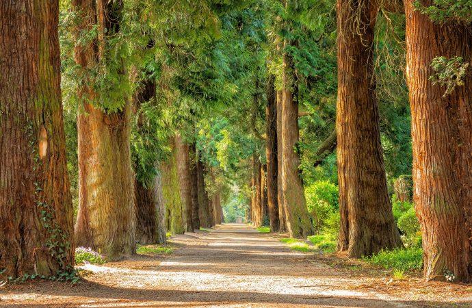 Päť stromov na sídlisku Solinky nebude mesto presádzať, odborníci to neodporúčajú