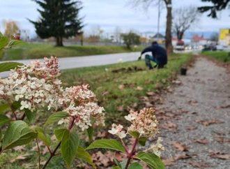 Na jar rozkvitne okolo hlavnej cesty v Liptovskom Mikuláši stovka hortenzií