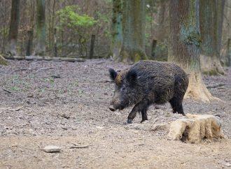 V Tepličke nad Váhom sa vykoná poľovačka na diviaču zver