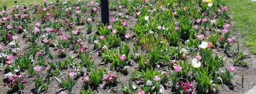 Viaceré miesta v Liptovskom Mikuláši tento rok oživí nová zeleň