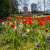 S príchodom jari začala mesto Dolný Kubín skrášľovať nová kvetinová výsadba
