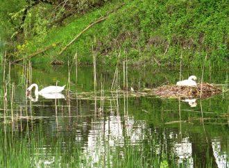 Labute zahniezdili prvýkrát na rieke Váh pri Kraľovanoch na konci malého ostrova
